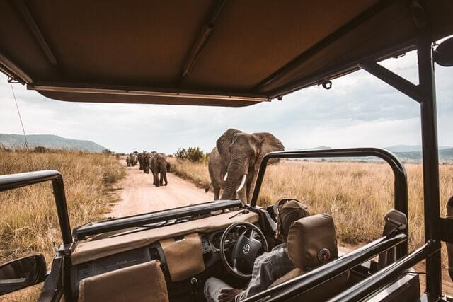 Elephants walking freely on an African safari